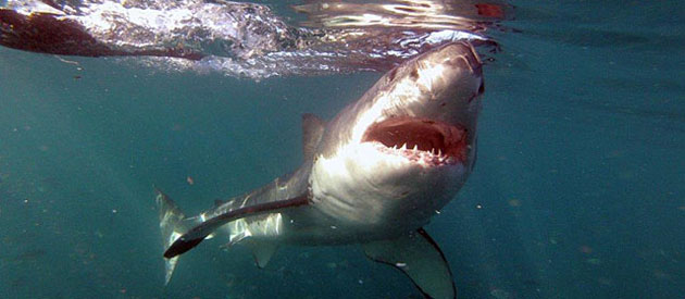 GREAT WHITE SHARK TOURS with Brian McFarlane