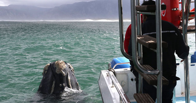 Ivanhoe Sea Safaris, Gansbaai, Western Cape www.south-africa-info.co.za